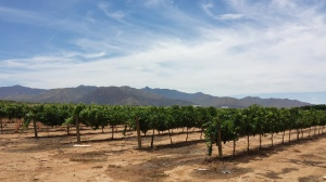 Vines at Fort Bowie Vineyard, at the far edge of the Willcox growing region, in Graham County