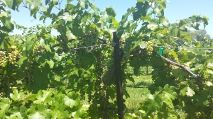 Chardonnay vines at Granite Creek Vineyards