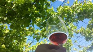 Tempranillo against the Sky