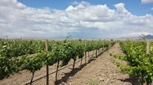 Tempranillo Vines in Willcox