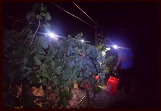midnight-harvest